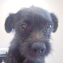 125261 is an adoptable Terrier Dog in Apple Valley, CA. ***Available for adoption 8-23-13*** 1 yr approx 10.02 lbs...Apple Valley, CA (760) 240-7000 x 7555