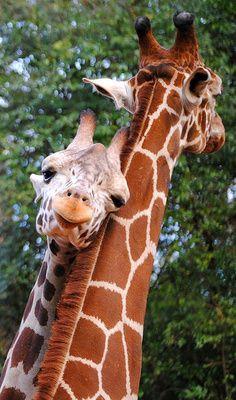 Cute giraffe snuggle