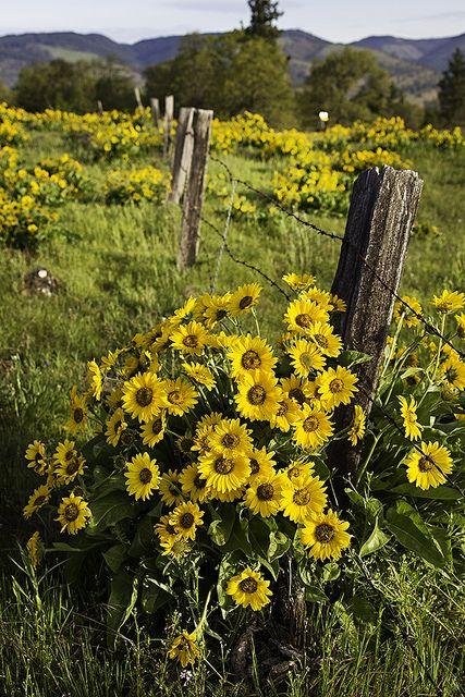Fence & Sunflowers