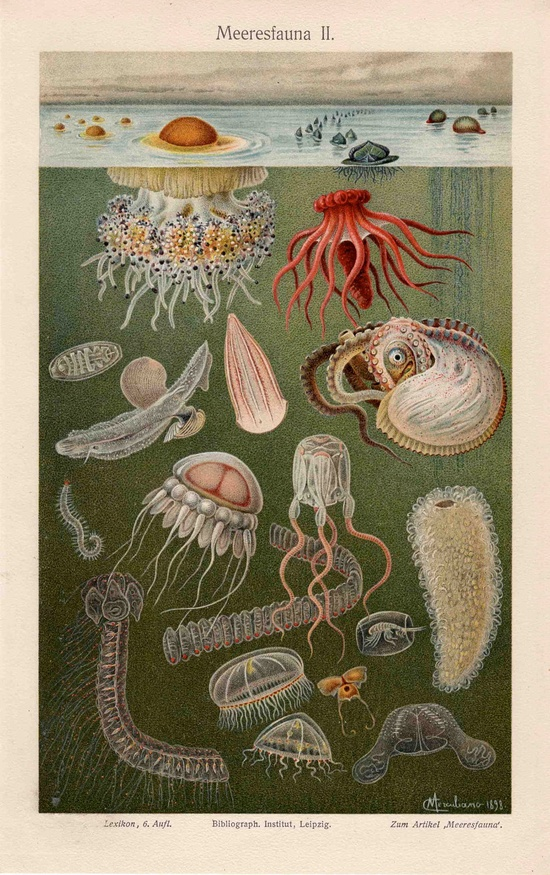1894 sea fauna I ocean scene original antique sea life print - meersfauna. 80.00 bucks, via Etsy.