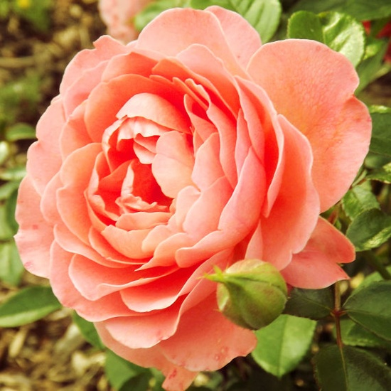 Melon colored Rose