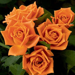 gorgeous orange roses...true pumpkin orange.