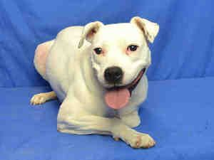 LADY is an adoptable Staffordshire Bull Terrier Dog in Saint Louis, MO. LADY REALLY LOVES OTHER DOGS, AND SHE WILL DO BEST WITH A DOGGIE FRIEND. LADY WAS IN A FOSTER HOME FOR SEVERAL WEEKS AND SHE IS ...