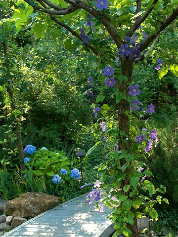 Love the clematis climbing up the tree and the blue hydrangea continues the color story