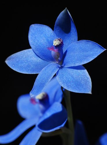 Blue Lady orchid