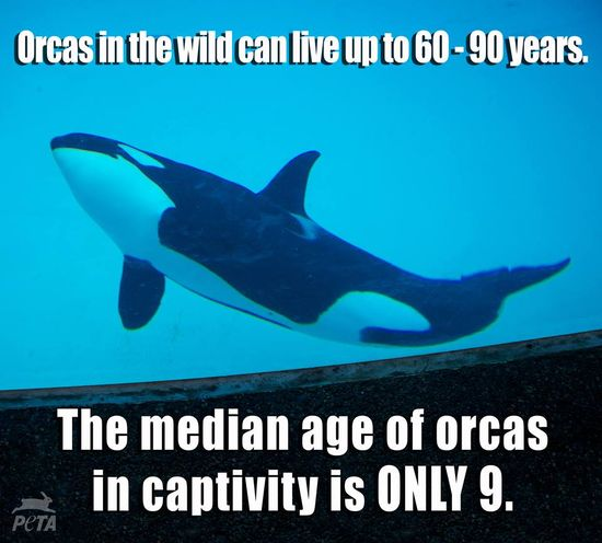 How many orcas have died young at $eaWorld? The answer will shock you: www.seaworldofhur... #seaworld #orcas #animals #animalrights #sad #captivity #takeaction #activism #neverbesilent