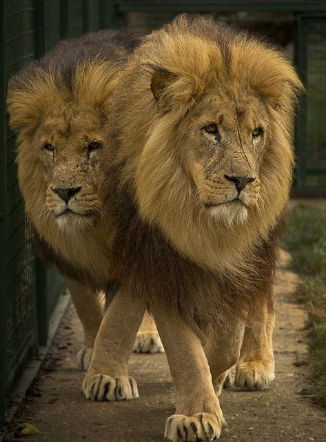 Pair of beautiful Lions