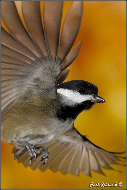~~Chickadee (Black-Capped) by Earl Reinink~~