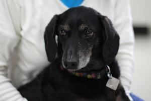 Macho is an adoptable Dachshund Dog in El Cajon, CA. Meet Macho....I am a 9 yr old Doxie that is looking for a forever home. I was relinquished to Four Paws when my owner had to move and was unable to...