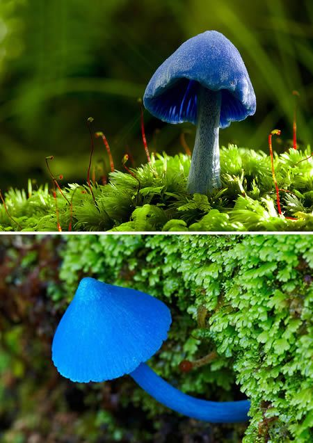 Sky Blue mushroom (Entoloma hochstetteri) - Found in India and New Zealand