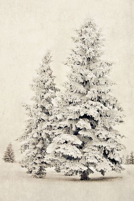 A snow laden pine tree.
