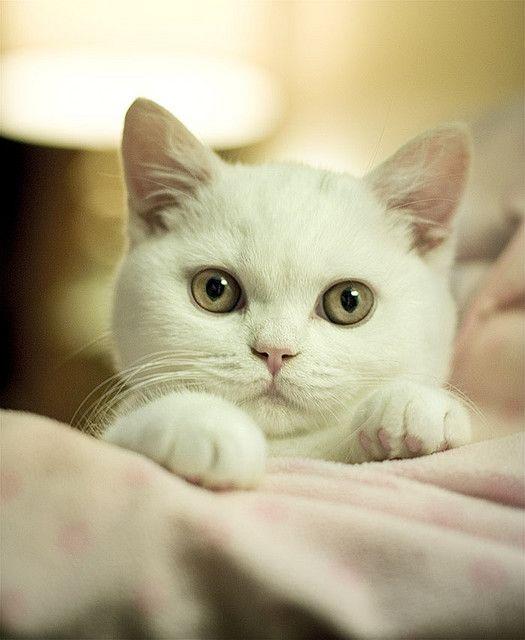 Gorgeous white kitty