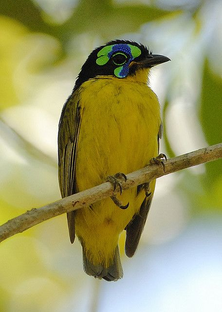 'The Schlegel's Asity (Philepitta schlegeli) is a species of bird in the Philepittidae family. It is endemic to Madagascar. Its natural habitats are subtropical or tropical dry forests and subtropical or tropical moist lowland forests. It is threatened by habitat loss.'