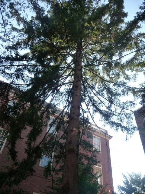 Towering tree on Ware Street
