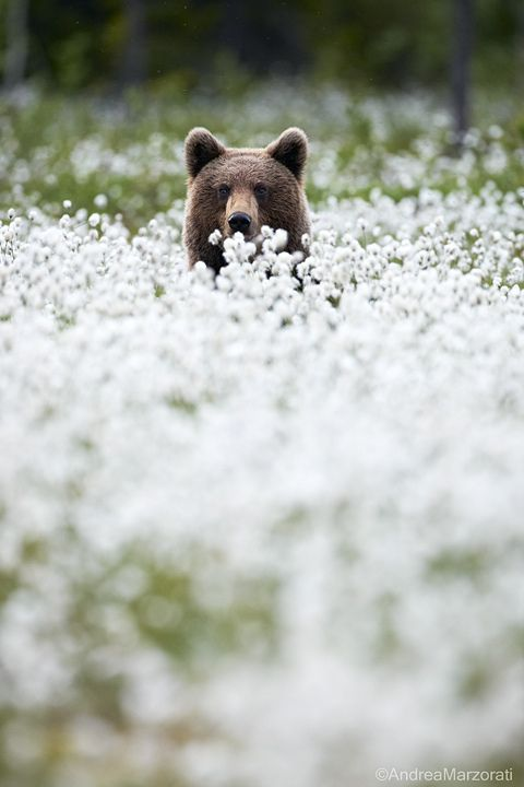 Grizzly Cub in a Field of Wild White Flowers.