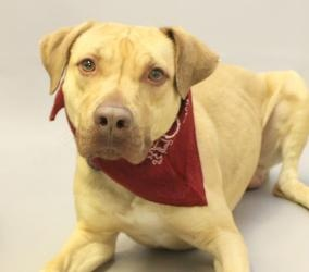 TEDDY is an adoptable Labrador Retriever Dog in Lancaster, OH. HELLO? I WAS LOST AND THEY FOUND? ME? I WAS IN THE AMANDA AREA? THEY ARE CALLING ME? TEDDY? DO YOU KNOW ME OR MY FAMILY? IF NO ONE COMES ...Please click on pic for additional info on this dog?