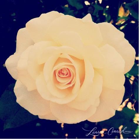 white roses make me happy