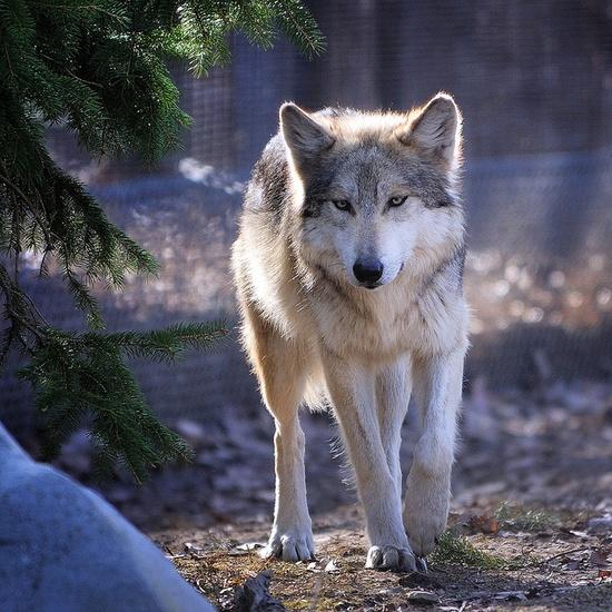 grey beautiful wolf