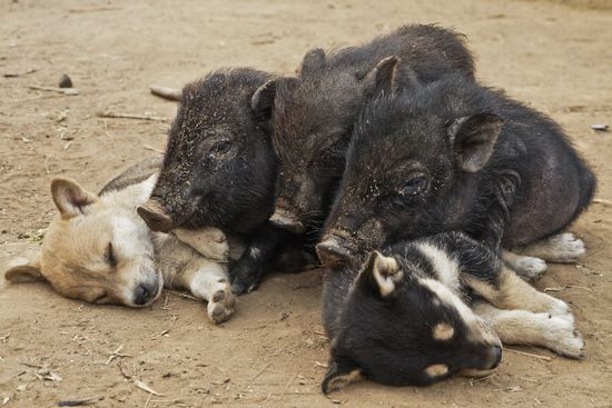 piglets and sleeping puppies snorgling the day away
