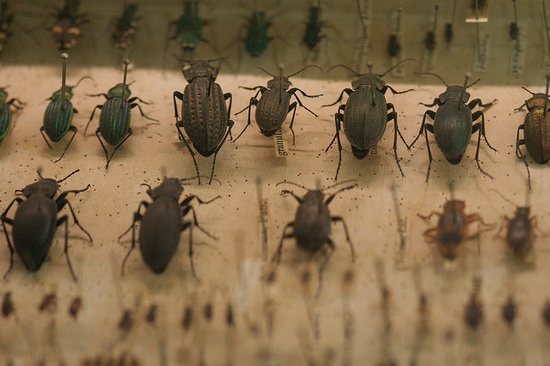 Charles Darwin's beetle collection, University of Cambridge Zoological Museum. Photo Richard Carter