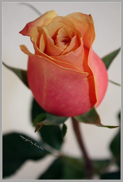 Pink and orange rose.