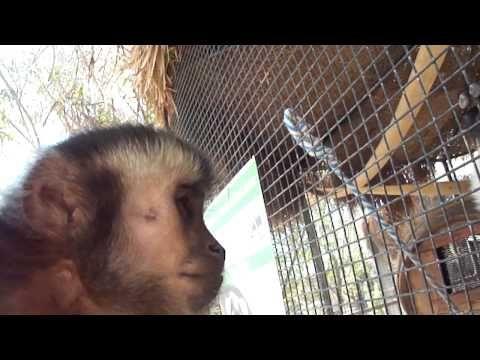 ? baby monkey nala visits lemurs - YouTube