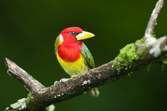 Red Headed Barbet (male) by Bob Lewis