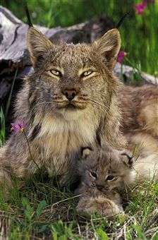 canada lynx lynx canadensis mother and kitten. spring montana