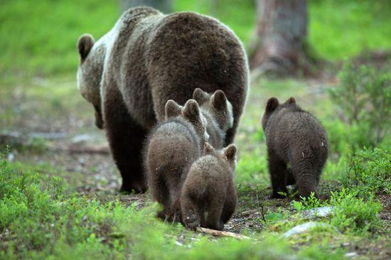#bears #cubs #babies #animals #wildlife #nature