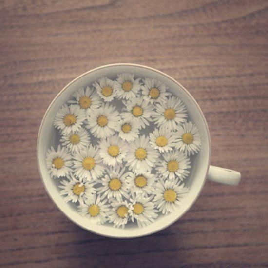 Daisy in a teacup