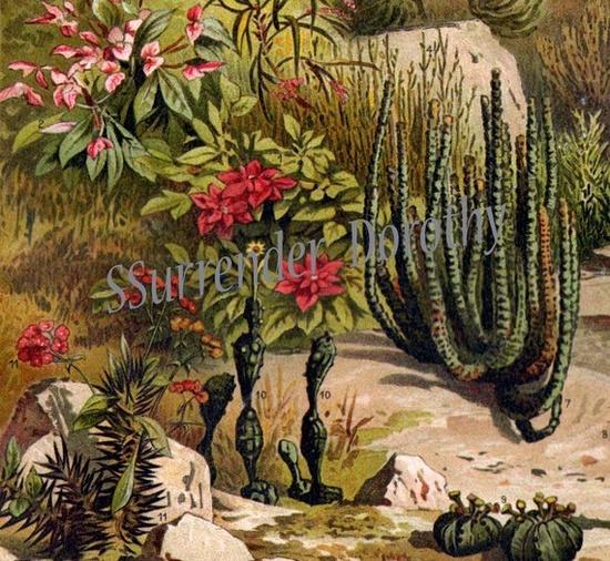 Euphobia Cactus Desert Flowers and Plants 1887 Victorian Antique Botanical Chromolithograph Illustration