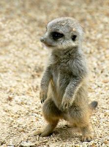 cute baby meerkat