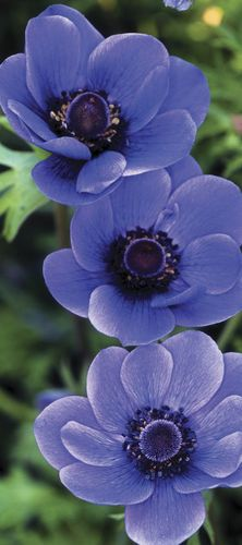 beautiful anemone