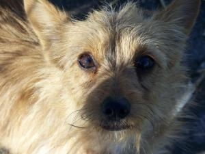 Foxy is an adoptable Cairn Terrier Dog in Sedalia, MO. Foxy could not be any sweeter or cuter.  She was a owner type turn-in so we would really love to get her in home ASAP.  She is about 1 1/2 - 2 yr...