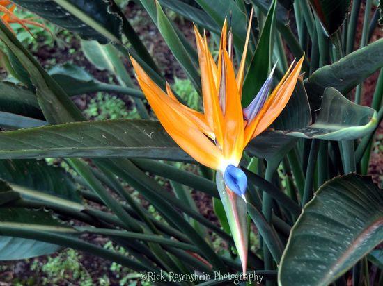 Taormina, Italy Bird of Paradise
