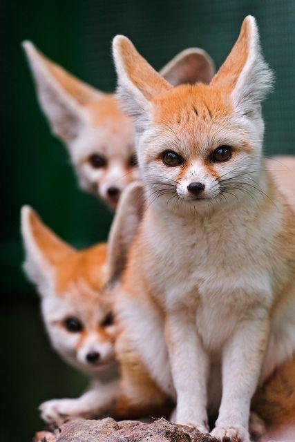 **Three cute fennecs! by Tambako the Jaguar