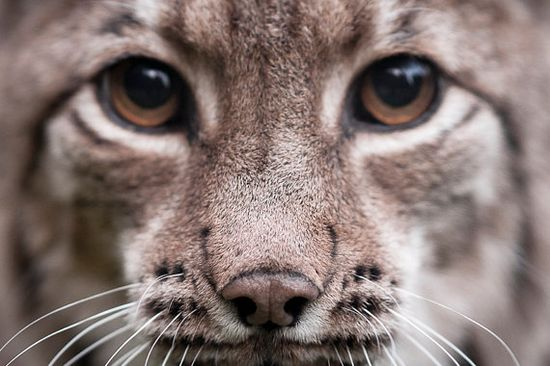 """Lynx  Close Up  Photo Art Prints  Animal Art """"Eye to Eye"""" by Phiippe Busser of Wildnis Photography Stories.  wildnis-photograp... mailto:wildnis.ph..."""