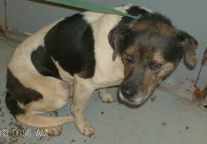 #OHIO #URGENT ~ ID 178 is a 3-4y/o #adoptable Terrier mix dog in #NewLexington available 5-16-13 & approx 50lbs. He's in need of a loving #adopter or receiving #rescue at the PERRY COUNTY DOG SHELTER  1650 Commerce DR   #NewLexington OH 43764  mailto:pcshelter@...  We DON'T return Long Distance Calls or   Calls received after business hrs