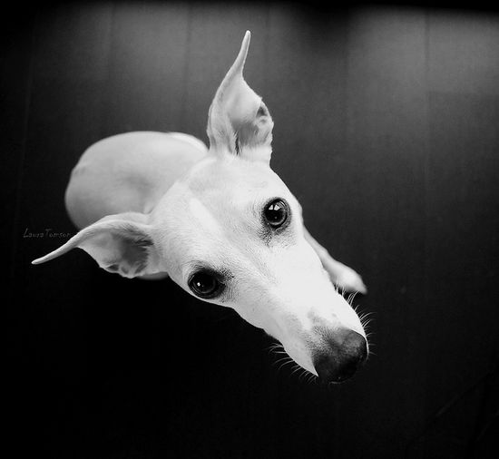 Cute whippet!