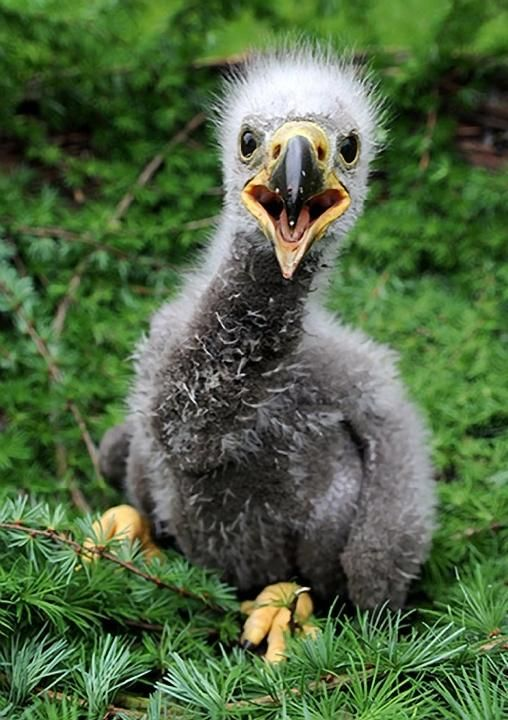 Baby Sea Eagle at a wild animals park at Eekholt, Germany