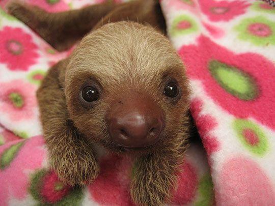 baby sloths - precious