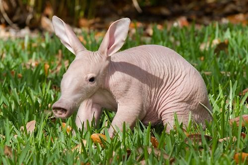 aardvark  baby animals