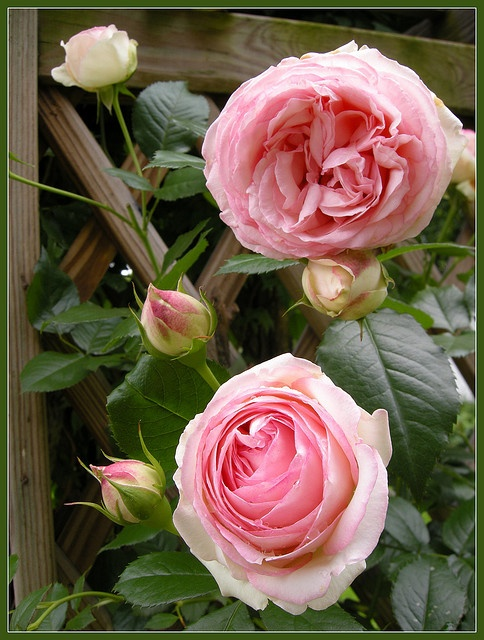 Pink  Roses on Trellis