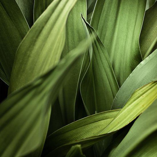 celedon leaves
