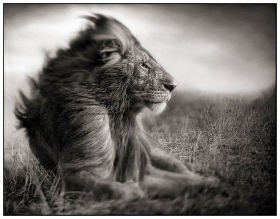 Beautiful... not sure if it is photoshopped or not, but regardless it is beautiful! Lions are just so majestic! #jetsetterCurator