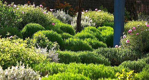 Jardín mediterraneo. Mediterranean garden; Lavandula Of., Cistus purpureus, Teucrium fruticans, Viburnum tinus. Aromaticas
