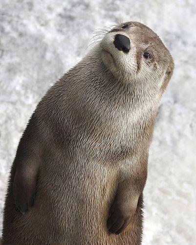 Ponder Otter