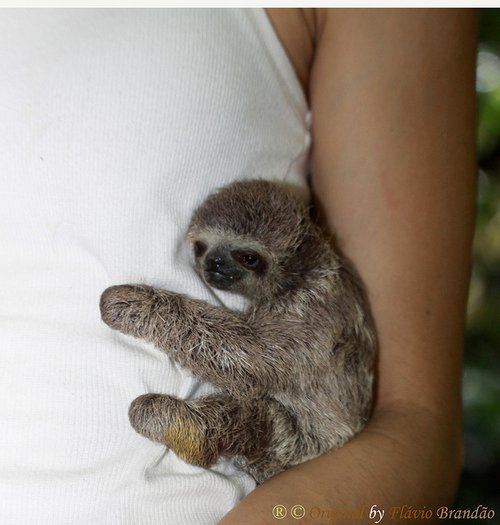 baby sloth ?