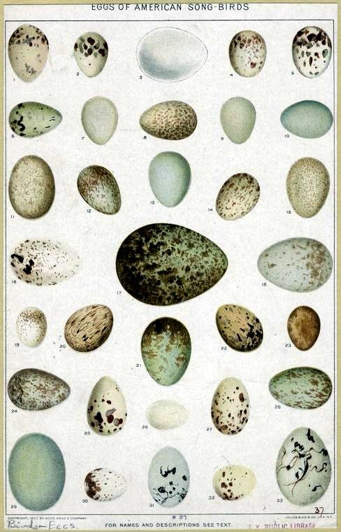 Eggs of American Songbirds.