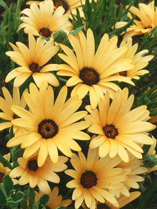 Osteospermum - A pretty one for flower pots